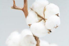 fleur-de-coton